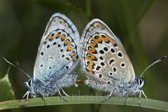 silverstudded (sams_charlotte) Tags: macro butterfly insect nikon cornwall plebejusargus
