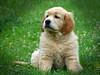 Golden puppy (Paulaart18) Tags: dog pet black dogs nature golden hotdog sony retriever dachshund blond wiredhaired dsch2 paulaart18