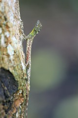 Flying lizard (Draco volans) 004