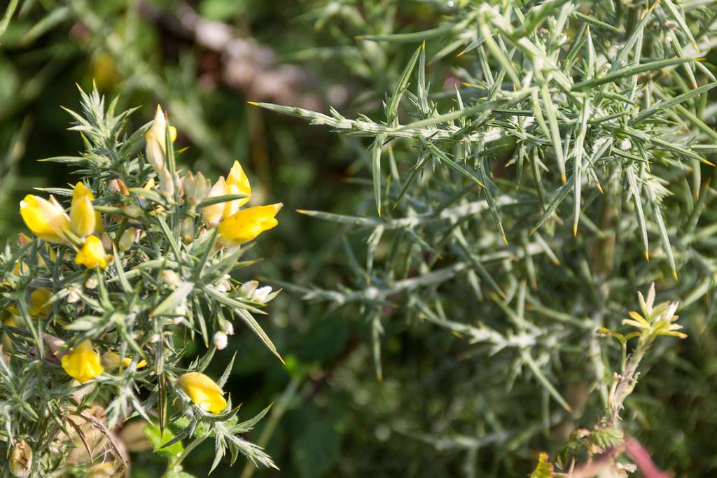 morrazo tojo dfvergara tags verde planta flor amarillo bosque hio tojo cangas