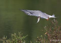 Non, ce n'est pas sa langue... (Rgis B 31) Tags: france bird vol oiseau arige commontern sternahirundo charadriiformes midipyrnes mazres sternepierregarin larids domainedesoiseaux