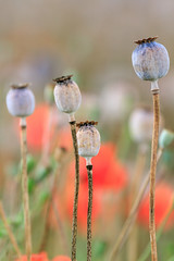 Opium poppy & poppy (Patrick Mayon) Tags: red france flower nature fleur field rouge champagne champs culture coquelicot pavot opiumpoppy pavotsomnifère oeillette
