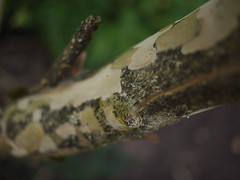 Paper bark (Bushman.K) Tags: bark lichen