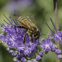 Worker_Honey_Bee