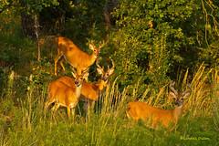 White-tailed bucks (Lindell Dillon) Tags: oklahoma raw wildlife deer tamron bucks whitetails oklahomanaturepics lindelldillon