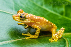 Imbabura Tree Frog (Hypsiboas picturatus) (John P Clare) Tags: orange greenleaves plant yellow bigeyes ecuador colombia stripes amphibian frog ficus dots treefrog greenleaf largeeyes blotches blotch hypsiboaspicturatus imbaburatreefrog