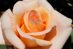 teardrops for Robin Williams (LotusMoon Photography) Tags: flowers color nature rose flowersarebeautiful excellentsflowers mimamorflowers flickrflorescloseupmacros rosesforeveryone