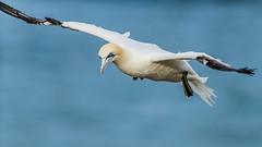 Northern Gannet in flight (Mister Electron) Tags: birds coast yorkshire cliffs ornithology gannets seabirds eastyorkshire northerngannet morusbassanus rspb bempton nikond800 tc3012xteleconverter nikontc301teleconverter tc3012xteleconvertor nikkor500mmf4ped