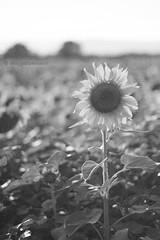 Sunflower - Girasole (Elisa Gabbrielleschi) Tags: hello sky white black green colors yellow landscape photo nikon istockphoto cielo da sunflower mm 50 istock fare girasole elisa girasoli 18105 2014 d7100 elisagabriel gabbrielleschi helloelisagabriel yuzaphoto
