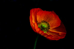 Poppy on black (loobyloo55) Tags: orange black flower poppy californianpoppy