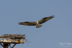 Osprey landing sequence - 3 of 14