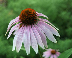 0008243 (To all that visit, Thank you) Tags: plant canada flower garden cone center nb bloom coneflower pedals spiny echinaceapurpurea purplishpink ©allrightsreserved nbphoto
