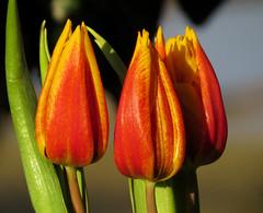 Sunrise (marina0102) Tags: orange flower yellow sunrise close tulip platinumheartaward