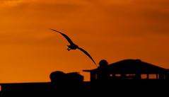 Il gabbiano e il tramonto, Follonica, Toscana (william eos) Tags: tramonto mare gabbiano follonica sigma150500mmf563apodgoshsm williamprandi