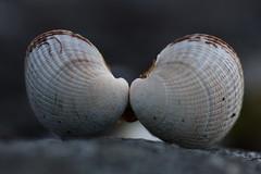 Cheek to cheek (annechr) Tags: macro strand seashells simplicity minimalism skjell eika eiksund