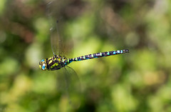 In flight (absynth100) Tags: blue macro green animal insect flying wings dragonfly
