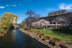 Spring Greens and Blossom (Jocey K) Tags: trees newzealand christchurch sky building water architecture clouds reflections river cherryblossom avon willows victoriasq