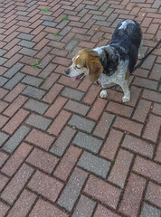 DSC04931-2 (johnjmurphyiii) Tags: summer dog beagle connecticut cromwell fletch originaljpeg cromwellhighschool johnjmurphyiii 06416 sonycybershotdsch90