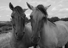 Just the two of us. (Phil Austin Photography) Tags: horses blackandwhite nature wildlife wildhorses wildlifetrust norfolkwildlifetrust