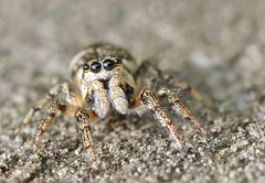 Jumping spider (Roger H3) Tags: insect spider jumper