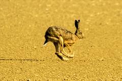 IMG_2326 (Petzi59) Tags: rabbit lapin hase