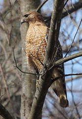 IMG_3826-1 Red-shouldered Hawk (John Pohl2011) Tags: canon canont4i t4i pohl john 100400mm 100400mmlens bird perching raptor