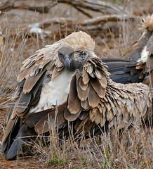 White-backed Vulture (Gyps africanus) (berniedup) Tags: whitebackedvulture gypsafricanus vulture taxonomy:binomial=gypsafricanus bird satara kruger