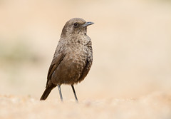Ant-eating Chat (Myrmecocichla formicivora) (George Wilkinson) Tags: anteating chat myrmecocichlaformicivora northern cape goegap nature reserve wildlife wild bird south africa canon 7d karoo 400mm