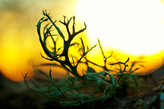 Alien World (Kristian Francke) Tags: macro lichen tree branch small close up nature natural plant plants bark sunset outdoors pentax bc canada british columbia alien tiny february 23 2017 winter