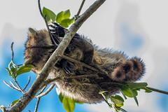 Balanced Sleeper (Bill Varney) Tags: racoon sleep sleeping nap tree branch sky outdoor wildlife animal billvarney