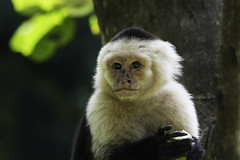 Capuchin (Markus Jansson) Tags: capuchin whitefacedcapuchin treeoflife cahuita costarica monkey face eyes wildlife animal