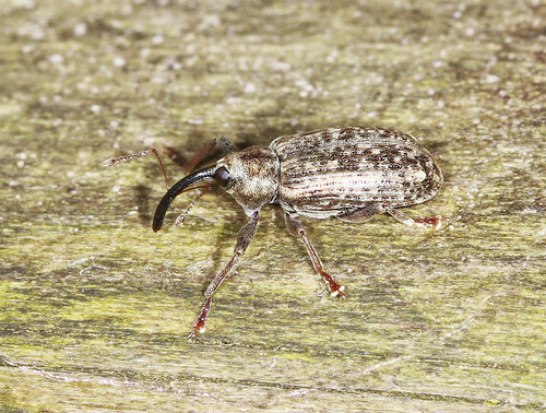 Weevil (about 5mm)