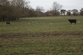 Cow & Calf with Little Egrets (~16 of them) Meon Valley