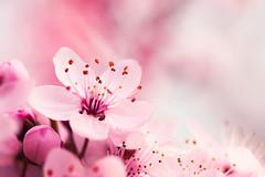 Soft Dream (.vermilion) Tags: macro nature cherry spring soft natural blossom natur blossoms bloom cherryblossom softfocus makro blte cherrytree frhling kirsche inbloom kirschblte kirschbaum canonef100mmf28macrousm canoneos50d macroart