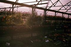 In the nursery (Bea. In a dustland) Tags: flowers summer plants film 35mm superia nursery yashica analogica fujisuperia xtra ilovefilm analoguephotography fotografiaanalogica yashica108 sp400x fujisp400x