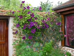 Frolles: clematis & roses (green voyage (far, far behind, trying to catch up)) Tags: flowers houses windows roses france spring vines ledefrance afternoon clematis may curtains walls stonewalls bbs seineetmarne climbingroses parisregion chambresdhtes frolles crcylachapelle