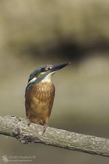 Common Kingfisher (Dutch: Ijsvogel) (Jef-W) Tags: bird nature birds juni canon wildlife vogels natuur kingfisher 300mmf28 2014 ijsvogel oelermars juveniel 600mmf56