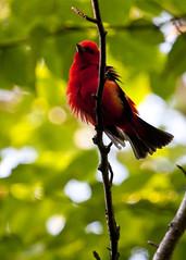 Scarlet Tanager (Boganeer) Tags: birds bird tanager scarlettanager olivacea canon xti canonxti nature unb unbwoodlot birding oiseau