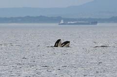 Notch J47 and Tahlequah J35 spy hops (SanJuanOrcas) Tags: ocean sea wild nature island washington san juan state wildlife killer whale orca cetacean