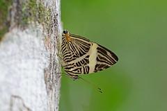 Dirce Beauty (Colobura dirce), Serra dos Tucanos, Brazil (Terathopius) Tags: brazil serradomar atlanticforest mataatlntica coloburadirce dircebeauty serradostucanos canoneos5dmkiii canonef500mmf40lisiiusm