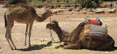 Camels at Aït Benhaddou (Aït Ben Haddou, Morocco) (courthouselover) Tags: morocco maroc almaghrib soussmassadrâa soussmassadrâaregion régiondusoussmassadrâa aïtbenhaddou unesco unescoworldheritagesites camels animals المغرب africa northafrica ksarofaitbenhaddou