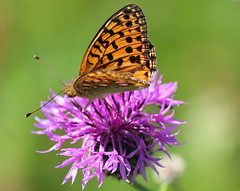 Lunch Time (music_man800) Tags: park uk wild summer sun orchid green nature fauna canon butterfly dark golf insect photography kent flora walk wildlife united country meadow gimp bank kingdom course papillon british greater wildflower lullingstone fritillary knapweed scabiosa centaurea argynnis aglaja 700d