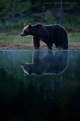 Summer Solstice (Marsel van Oosten) Tags: bear wild summer brown reflection forest finland mammal pond europe workshop ursus workshops marsel arctos marselvanoosten