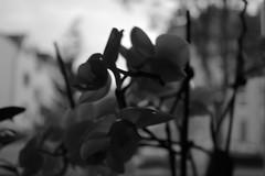 Orchidee (butwedid) Tags: pflanze orchidee blte schwarz dunkel dunkelheit weis