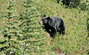 Black Bear at Rainier Feeding in Preparation for Winter (Ethan.Winning) Tags: bear black canon mt or na rainier northamerica np sx40 sx50 dailynaturetnc13 dailynaturetnc14 ethanwinning eawinning