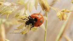 P7167008 (E.Hphotography) Tags: detail macro nature beautiful beauty animals flying wings insects bugs ladybird ladybug delicate creatures creature detailed