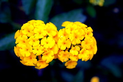 The earth laughs in flowers. (melvin mathew) Tags: india flower beautiful yellow indian kerala wayanad kozhikode