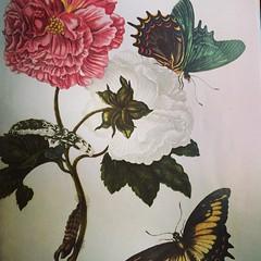 Maria Sibylle Merian (1647-1717). Die Schmetterlingsfrau. Künstlerin & Entomologin.  #flow #magazine #merian #schmetterling #Künstlerin #Entomologin #butterfly #art @flow_magazine