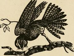 Anglų lietuvių žodynas. Žodis goat-sucker reiškia ožkos-gyvis lietuviškai.