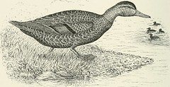 "Image from page 103 of ""A history of the game birds, wild-fowl and shore birds of Massachusetts and adjacent states... with observations on their...recent decrease in numbers; also the means for conserving those still in existence"" (19"